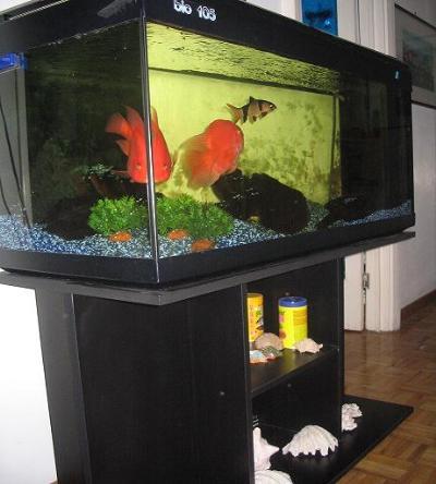 Acquario pesci rossi allestimento for Pesci rossi acquario