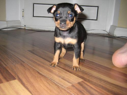 Secondo voi un pincher toy o nano cani di razza for Pinscher medio