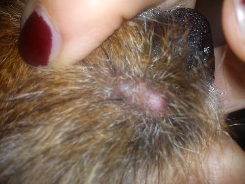 Strane bolle sul muso del cane forum for Casa progetta il trotto del cane