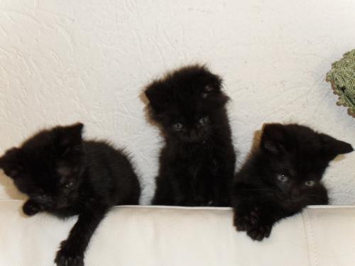 *ARDEA(ROMA)*GATTO*2 gattini neri, 1,5/2 mesi, cercano casa , Ok loc e FB ,  Adozioni
