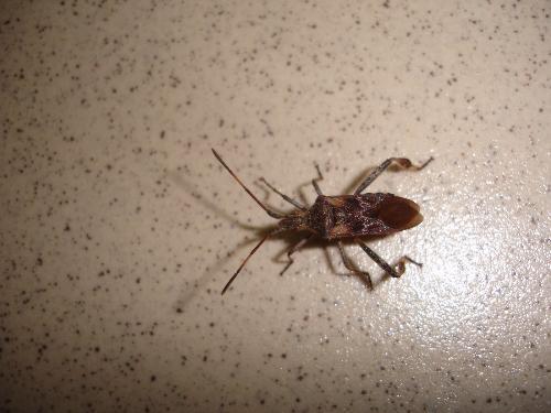 Ho il terrore degli insetti tipo cimici varie for Cimice insetto