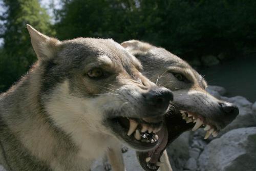 Canelupocecoslovacco prenderlo o non prenderlo questo il problema cani di razza - Cani che non vogliono fare il bagno ...
