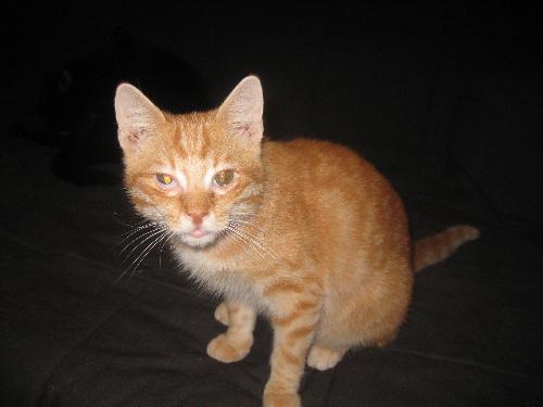 Gatto rosso delicato gatto - Gatto pipi letto ...