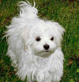 Adottato cane asso incrocio fra maltese bolognese e for Cane barboncino toy