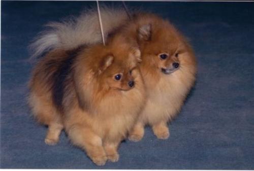 Volpino di pomerania cani di razza for Volpino pomerania nano