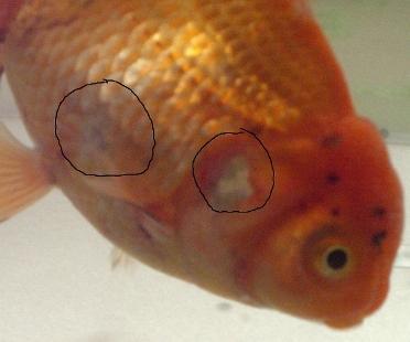 Pesci rossi avevo due pesci rossi uno morto dopo for Pesci rossi quanto vivono