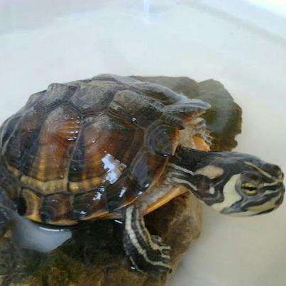 Tartarughe e laghetti artificiali altri animali for Sassi per tartarughe