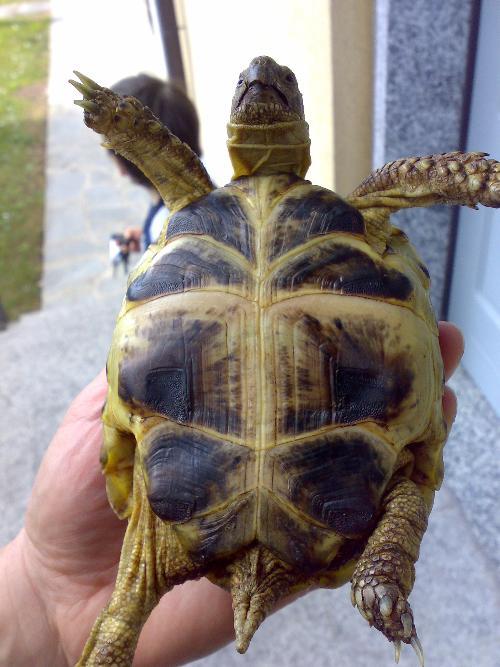 tartaruga horsfieldi maschio o femmina altri animali