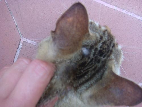 Graffio del gatto: quali malattie può trasmettere e come ...