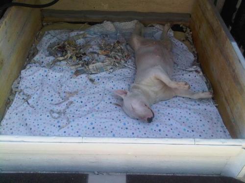 Sala Parto Per Cani : Come fare una sala parto per cani: parto cani accessori vari per