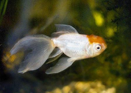 Galleggiava un po 39 storto risolto altri animali for Quanto vivono i pesci rossi