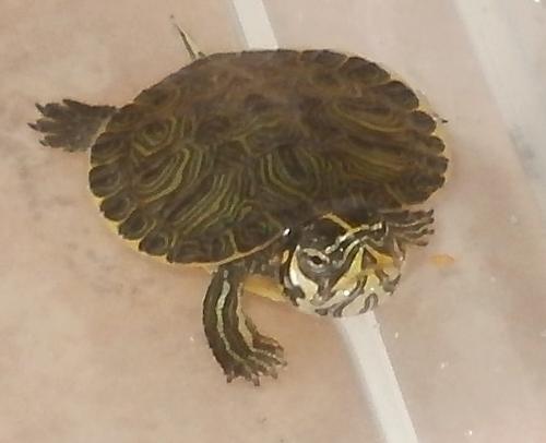 Informazioni sulle tartarughe d 39 acqua dolce altri animali for Terracquario per tartarughe