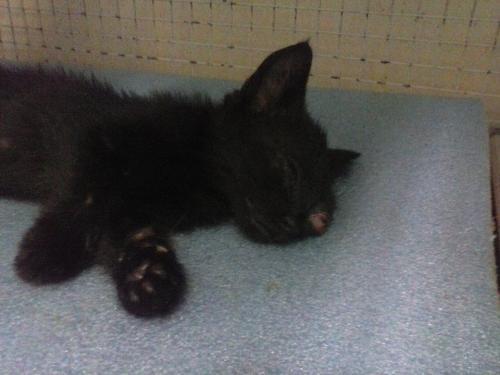 Gattina operata liquido rosa dal naso il veterinario for Gatto che starnutisce