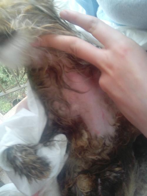 Persiano è Caduto Il Pelo Nodi Di Pelo E Micosi Gatto