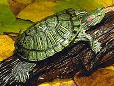 Tartaruga d acqua o terra altri animali for Tartaruga orecchie rosse prezzo