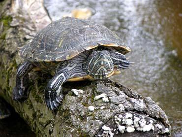 tartaruga d acqua o terra altri animali