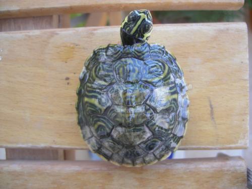 Tartarughe d 39 acqua con chiazze opache sul carapace for Letargo tartarughe acquatiche