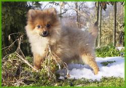 Cane di razza volpino pomerania picture quotes for Cane volpino nano
