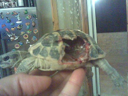 Aiuto tartaruga rotta da un cane for Tartaruga di terra in casa