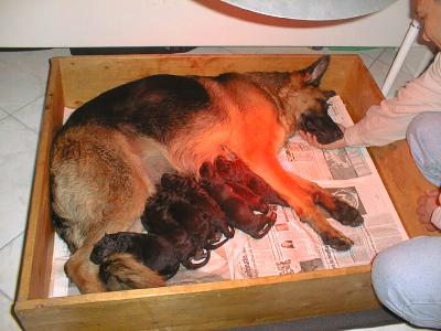 Cuccia per parto cane elegant cuccia fai da te con box for Cassa parto per cani usata