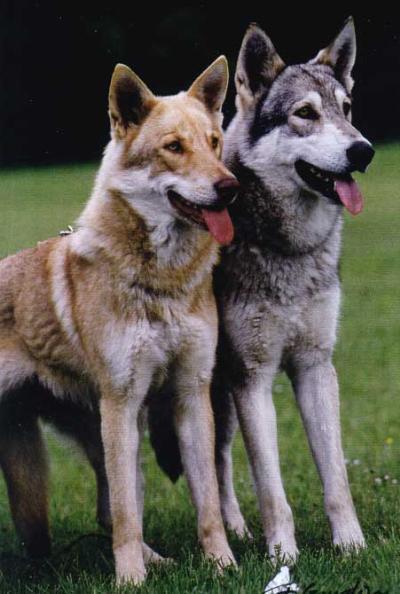 Conoscete Il Cane Lupo Di Saarloos Cani Di Razza