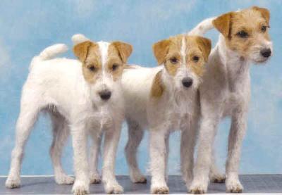 I terrier la grande famiglia degli yorkie cani di razza for Jack russel pelo lungo