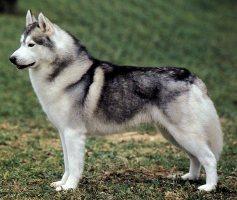 Il siberian husky cani di razza - Husky con occhi diversi ...